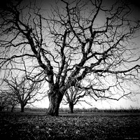The Black Trees Orchard I