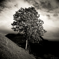 Mountain Tree II